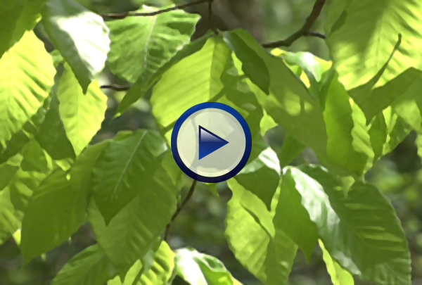 Our Photosynthesis DVD documents how scientists unraveled the mystery of photosynthesis and then examines the structural adaptations in leaves that facilitate photosynthesis, the nature of visible light, and the structure of chloroplasts before going on to explain how the light dependent reactions that occur in photosystems I and II produce ATP and other high energy molecules that are then used to produce glucose via the light independent C3 and C4 cycles which are compared and contrasted to one another.