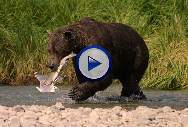 Our How Ecosystems Works DVD looks at the processes that are fundamental to all ecosystems. First the concepts of primary productivity, trophic levels, food chains, energy pyramids and the flow of energy through ecosystems are introduced. The program then explains how carbon, nitrogen, phosphorous and water cycle through ecosystems and how human activities can disrupt these cycles and throw them out of balance leading to accelerated eutrophication in lakes in the case of phosphorous imbalances and global warming in the case of carbon imbalances.