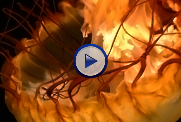 Our Invertebrates DVD looks at evolutionary trends like cephalization, segmentation, changes in body symmetry, increases in locomotive efficiency and the development of increasingly complex tissues and organs that occur as one goes from the sponges of phylum Porifera to the octopuses of class Cephalogoda. Structural, functional, and behaviorial adaptations unique to members of each of the invertebrate phyla including: Cnidaria, Platyhelminthes, Nemotoda, Annelida, Arthropoda, Mollusca, Echinodermata are discussed in detail.