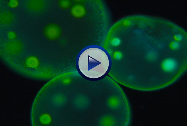 Our Protist DVD explores the evolutionary history of eukaryotes while examining the incredible diversity that exists in kingdom Protista reflected in organisms such as Euglena which have both animal and plant-like qualities. The program then looks at animal-like zooflagellates, sarcodines, ciliates, and sporozoans; fungus-like slime molds, and plant-like dinoflagellates, diatoms, and euglenoids. Multicellular red, brown and green algae are examined and why modern biology places all three in kingdom Protista rather than kingdom Plantae is explained.