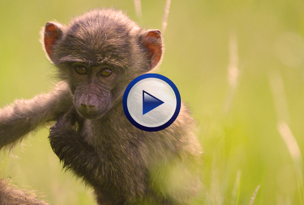 Our Vertebrates DVD begins by looking at the evolutionary origins of vertebrates before going on to examine primitive aquatic vertebrates such as jawless hagfish and lampreys and the more sophisticated sharks and rays of class Chondrichthyes and the bony fish of class Osteichthyes. The program then studies evolutionary adaptations such as: changes in skeletal structure, skin and eggs resistant to evaporation, control of body temperature, and increased circulatory and cognitive capacity that one sees going from class Amphibia to classes Reptilia and Aves and on to class Mammalia.